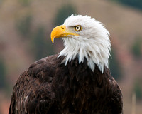 Bald eagle II (captive)