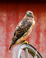 Red-tailed hawk (barn)