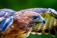 Red-tailed hawk (wings)